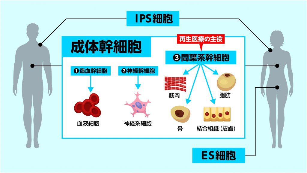 幹細胞の基礎知識2】幹細胞の種類について   My幹細胞.com